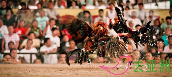 菲律宾人酷爱斗鸡
