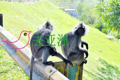 皇家山上猴子很多,它们不怕人也不抢东西
