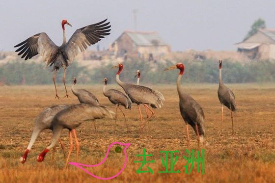 赤颈鹤是鸟栖旅遊区的亮点